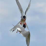 commended-arctic tern clash-van greaves