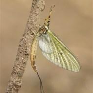 fiap ribbon-mayfly at rest-stan maddams lrps cpagb-england
