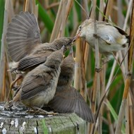first-reed warbler feeding chicks-van greaves