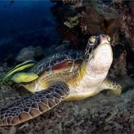 gpu ribbo-_keep_david_ps_green turtle with attending remora sucker fish_168