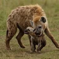 gpu ribbon-hyena bonding with cub-ian whiston dpagb efiapb abpe-england