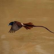 gpu ribbon-paradise flycatcher-tapen yang-taiwan