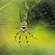 psa bronze golden orb spider