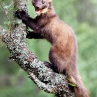 psa ribbon male pine marten ian mitchell