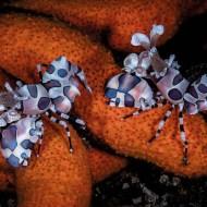 psa ribbon_keep_david_harlequin shrimps lembeh strait_169_1