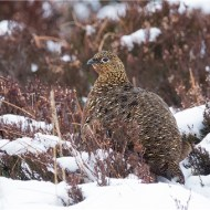 Female Red Grouse on Winter Moor, Andy Fryer