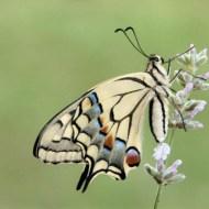 sps gold- swallowtail on lavender yealand kalfayan