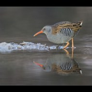 sps members medal-water rail with icy reflection-philippa wheatcroft dpagb-england