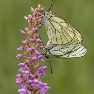 sps ribbon-blackveined whites mating in the rain-lesley simpson arps efiap dpagb-scotland