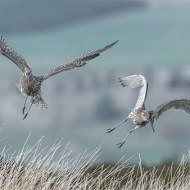 sps ribbon-curlews in flight-paul carter lrps cpagb bpe2-england