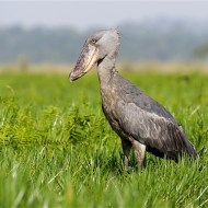 sps ribbon-shoebill-mike lane frps-england