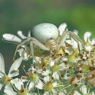 Commended-Crab Spider lurking on Cow Parsley-Brian Ferry