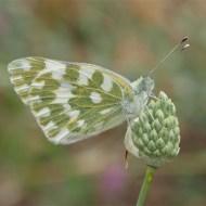 Commended-OrangeTip Butterfly-Geraldine Stephenson