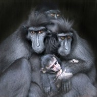 First-Crested Macaques & Baby-Robert Jones