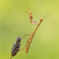 Second-Praying Mantis-Peter Herreaman