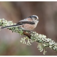Commended-Long Tailed Tit-Philippa Wheatcroft