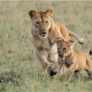 Commended-Playful Lioness & Cub (w)-Pauline Fiddian