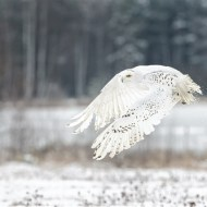 Commended-Snowy Owl Takeoff-Michael Windle