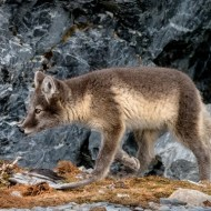 First-Arctic Fox Cub Hunting-Kaz Diller