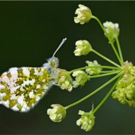First-Male Orange Tip Resting-Van Greaves