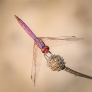 Highly Commended-Male Violet Dropwing-Michael Parmee