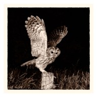 Highly Commended-Midnight Tawny-Philippa Wheatcroft