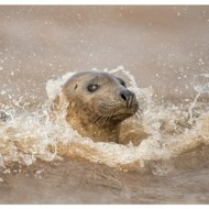 Highly Commended-Surfing Seal-Philippa Wheatcroft