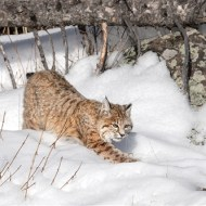 Second-Bobcat Stalking-Michael Windle