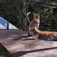 Highly Commended-Sun Bathing Lynxes-Dinah Jayes