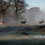 Commended-Fallow Deer-Ray Allen