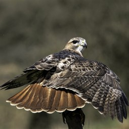 Commended-Red Tailed Hawk-Dinah Jayes