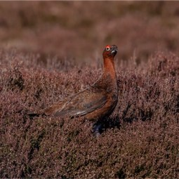 Highly Commended-Red Grouse in Heather-Alison J Fryer