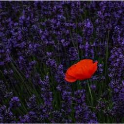 Third-Poppy Amongst Lavender-Cheryl Leyser