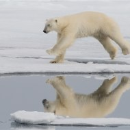 Commended-Polar Bear Mid Jump-Kaz Diller