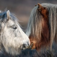 First-Wild Ponies on Long Mynd-David Myles