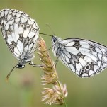 Male Marbled Whites-David Myles