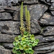 Wall Pennywort-Andy Fryer