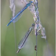 -Blue and Emerald Damsel with Ant-Mike Troth