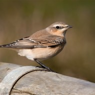 Commended-Northern Wheatear-John Moore CPAGB BPE1