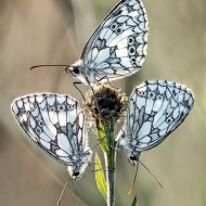 Commended-Trio of Marbled Whites .-David Myles