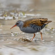 Commended-Water Rail-Sue Vernon CPAGB BPE1