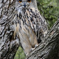 -Eagle Owl-Mick Jennings