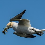-Gannet with Nesting Material-John Moore CPAGB BPE1