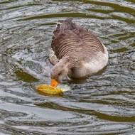 -Greylag Goose Eating Swan Mussel-Paul Cutland