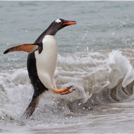 Highly Commended-A Gentoo Penguin Comes Ashore-Dawn Osborn FRPS EFIAP BPE5 DPAGB