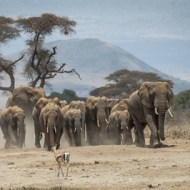 Highly Commended-Elephants Amboseli-Anthony Timmins