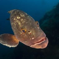Highly Commended-Epinephelus MarginatusGrouper-Arnaud Lenoir