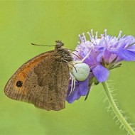 Highly Commended-Meadow Brown with Orb Spider-Robert Gerald Tunstall