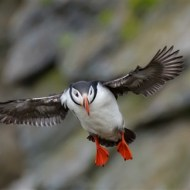Highly Commended-Puffin in Flight-Kaz Diller