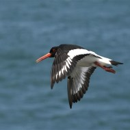 -Oyster Catcher in Flight-John Holt ARPS DPAGB BPE5